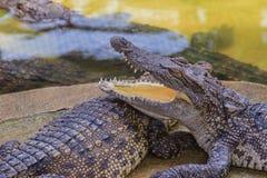 Ostrzy fangs i straszny krokodyl który czeka zdobycza Dreadfu Obrazy Stock
