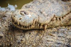 Ostrzy fangs i straszny krokodyl który czeka zdobycza Dreadfu Obrazy Royalty Free