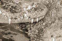 Ostrzy fangs i straszny krokodyl który czeka zdobycza Dreadfu Fotografia Stock