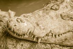Ostrzy fangs i straszny krokodyl który czeka zdobycza Dreadfu Zdjęcia Royalty Free