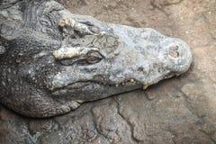 Ostrzy fangs i straszny krokodyl który czeka zdobycza Dreadfu Zdjęcie Royalty Free