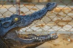 Ostrzy fangs i straszny krokodyl który czeka zdobycza Dreadfu Fotografia Royalty Free