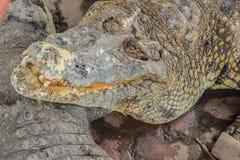 Ostrzy fangs i straszny krokodyl który czeka zdobycza Dreadfu Obraz Royalty Free