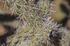 Ostrzy kaktusów kręgosłupy Obraz Royalty Free