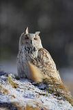 Ostsibirier Eagle Owl, Bubo Bubo sibiricus, sitzend auf kleinem Hügel mit Schnee im Wald, Winterszene Stockfotografie