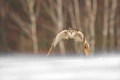 Ostsibirier-Eagle Owl-Fliegen im Winter Schöne Eule von Russland, das über schneebedecktes Feld fliegt Winterszene mit majestätis Lizenzfreie Stockfotos