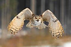 Ostsibirier-Eagle Owl-Fliegen im Winter Schöne Eule von Russland, das über schneebedecktes Feld fliegt Winterszene mit majestätis Stockfotografie