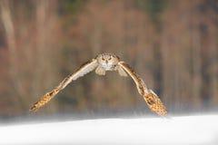 Ostsibirier-Eagle Owl-Fliegen im Winter Schöne Eule von Russland, das über schneebedecktes Feld fliegt Winterszene mit majestätis Lizenzfreies Stockfoto