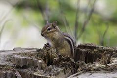 Oststreifenhörnchen Lizenzfreie Stockbilder