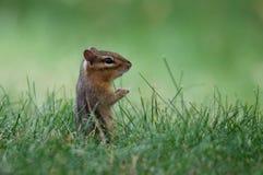 Oststreifenhörnchen Stockfotos