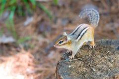 Oststreifenhörnchen auf einem hölzernen Stumpf, wirft einen Blick um seine Sommereinstellung Lizenzfreies Stockbild