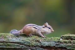 Oststreifenhörnchen auf einer Niederlassung im Fall Lizenzfreie Stockbilder