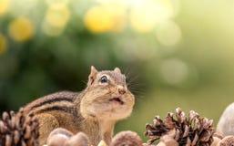 Oststreifenhörnchen sucht oben in einer Herbstsaisonszene mit Raum nach Text oben Lizenzfreie Stockfotografie
