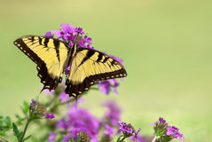 Osttiger Swallowtail Schmetterling (Papilio glaucus) Stockfotos