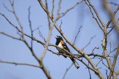Osttowheesingvogel, der auf Niederlassung, Georgia, USA singt lizenzfreies stockfoto