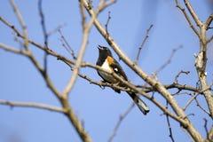 Osttowheesingvogel, der auf Niederlassung, Georgia, USA singt lizenzfreie stockfotografie