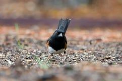 Osttowheevogel, Athen, Georgia lizenzfreies stockfoto