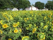Ostufer-Sonnenblumen Lizenzfreie Stockfotos