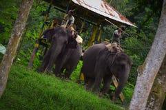 Oswojeni słonie lattaguri las fotografia stock
