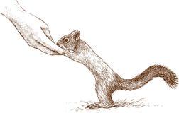 Oswojona wiewiórka Zdjęcia Stock