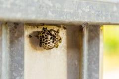 Osy gniazdeczko obrazy stock