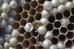 Osy gniazdeczko bez os Schwytane pustoszyć gniazdowe osy Honeycombs z larwami Zdjęcia Stock