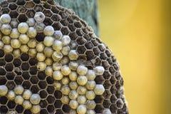 Osy gniazdeczko dołączający drewniana deska Zdjęcia Stock