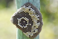 Osy gniazdeczko dołączający drewniana deska Fotografia Royalty Free