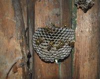 Osy gniazdeczko z osami siedzi na nim Obraz Stock