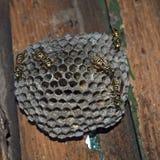 Osy gniazdeczko z osami siedzi na nim Zdjęcie Royalty Free