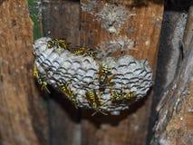 Osy gniazdeczko z osami siedzi na nim Fotografia Royalty Free