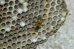 Osy gniazdeczko z osami siedzi na nim Fotografia Stock