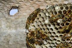 Osy gniazdeczko z osami siedzi na nim Obrazy Stock