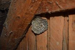 Osy gniazdeczko z osami siedzi na nim Osy polist gniazdeczko a Zdjęcie Royalty Free
