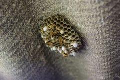 Osy gniazdeczko z osami siedzi na nim Osy polist gniazdeczko a Obrazy Stock