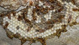 Osy gniazdeczko z osami siedzi na nim Osy polist gniazdeczko a Obrazy Royalty Free
