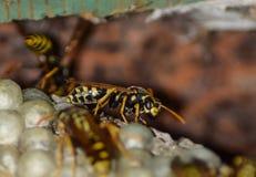 Osy gniazdeczko z osami siedzi na nim Osy polist gniazdeczko a Fotografia Stock