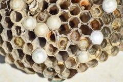 Osy gniazdeczko z osami siedzi na nim Osy polist gniazdeczko a Zdjęcie Stock