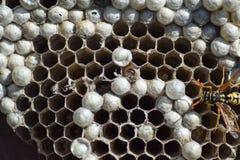 Osy gniazdeczko z osami siedzi na nim Osy polist gniazdeczko a Fotografia Royalty Free