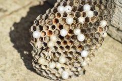 Osy gniazdeczko z osami siedzi na nim Osy polist gniazdeczko a Obraz Stock
