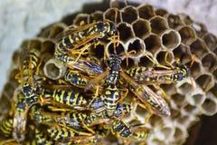Osy gniazdeczko z osami siedzi na nim Osy polist gniazdeczko a Obraz Royalty Free