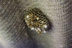 Osy gniazdeczko z osami siedzi na nim Osy polist gniazdeczko a Zdjęcia Stock