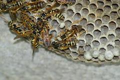Osy gniazdeczko z osami siedzi na nim Osy polist gniazdeczko rodzina której biorą zakończenie osy Obraz Stock