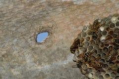 Osy gniazdeczko z osami siedzi na nim Osy polist gniazdeczko rodzina której biorą zakończenie osy Zdjęcie Stock