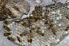 Osy gniazdeczko z osami siedzi na nim Osy polist gniazdeczko rodzina której biorą zakończenie osy Obrazy Royalty Free