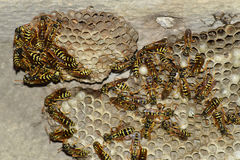 Osy gniazdeczko z osami siedzi na nim Osy polist gniazdeczko rodzina której biorą zakończenie osy Fotografia Stock