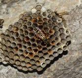 Osy gniazdeczko z osami siedzi na nim Osy polist gniazdeczko rodzina której biorą zakończenie osy Zdjęcie Royalty Free