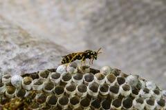 Osy gniazdeczko z osami siedzi na nim Osy polist gniazdeczko rodzina której biorą zakończenie osy Obraz Royalty Free