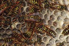Osy gniazdeczko z osami siedzi na nim Osy polist gniazdeczko rodzina której biorą zakończenie osy Zdjęcia Stock