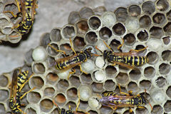 Osy gniazdeczko z osami siedzi na nim Osy polist gniazdeczko rodzina której biorą zakończenie osy Zdjęcia Royalty Free